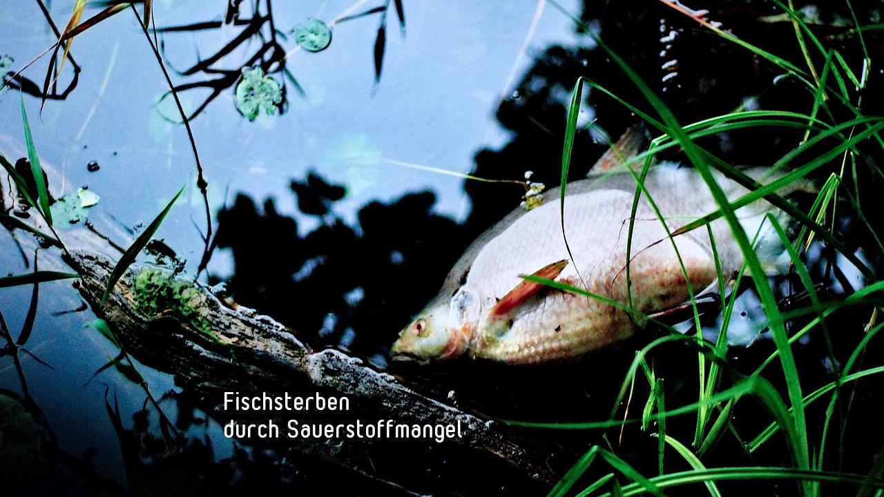 Fischsterben durch Blaualgen / Temperaturerhöhungen - Umweltschäden
